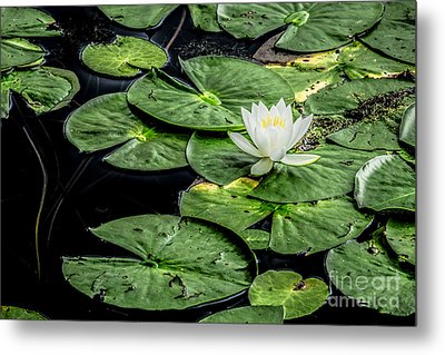 Summer Water Lily 3 Metal Print by Susan Cole Kelly Impressions