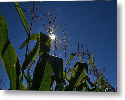 Sun Above The Corn  Metal Print