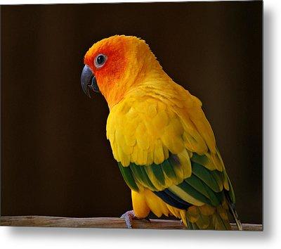 Sun Conure Parrot Metal Print