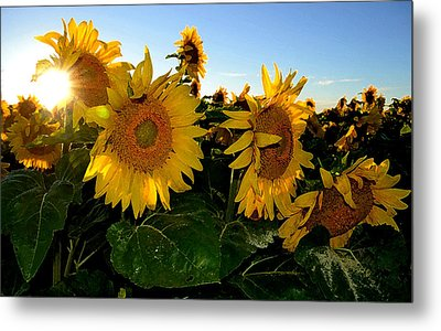 Sun Flowers And Pollen Wcae2  Metal Print