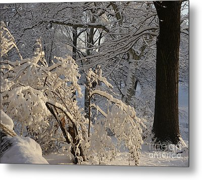 Sun On Snow Covered Branches Metal Print