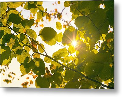 Metal Print featuring the photograph Sun Shining Through Leaves by Chevy Fleet