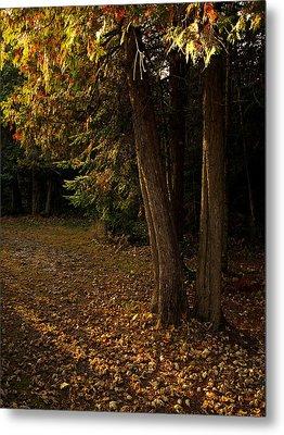 Sun Struck Cedars Metal Print by Stan Wojtaszek