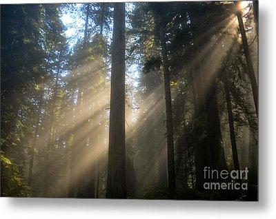 Sun Through The Redwoods Metal Print