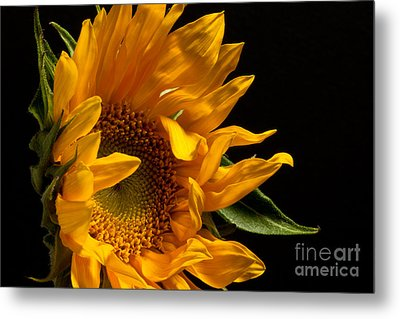 Sunflower 2010 Metal Print by Art Barker