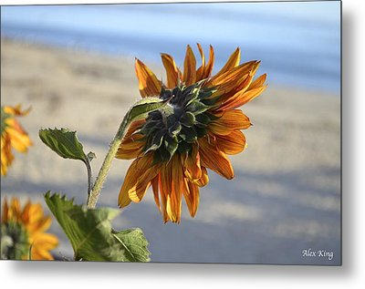 Sunflower Metal Print by Alex King