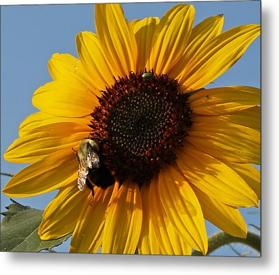 Sunflower And Bee Metal Print by Victoria Sheldon