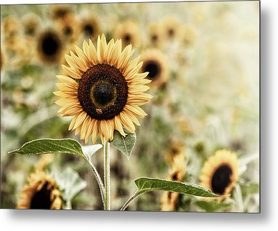 Sunflower And The Bee Metal Print by June Jacobsen