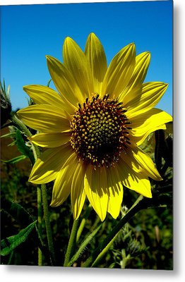 Sunflower Metal Print by Andrea Galiffi