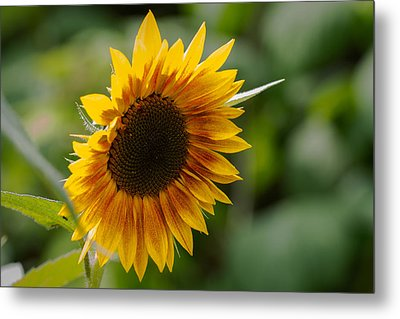 Sunflower Metal Print by Andreas Levi