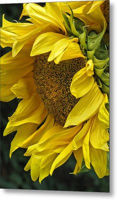 Sunflower  Metal Print by Ann Bridges