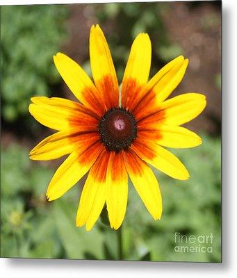 Sunflower At Full Bloom  Metal Print by John Telfer