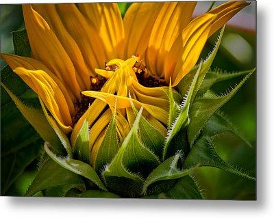 Sunflower Metal Print by Bill Wakeley