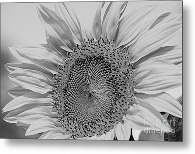 Sunflower Black And White Metal Print by Wilma  Birdwell