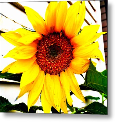Sunflower Blossom  Metal Print by Naomi Burgess