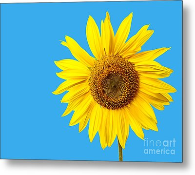Sunflower Blue Sky Metal Print by Edward Fielding