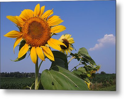 Sunflower Blues Metal Print by Frozen in Time Fine Art Photography