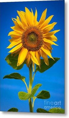 Sunflower Metal Print by Carsten Reisinger
