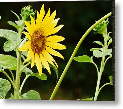 Sunflower Cheer Metal Print by VLee Watson