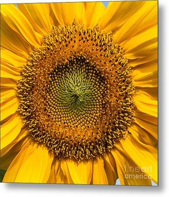 Sunflower Closeup Metal Print by Carsten Reisinger