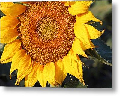Sunflower - Closeup Metal Print
