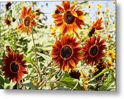 Sunflower Cluster Metal Print by Kerri Mortenson