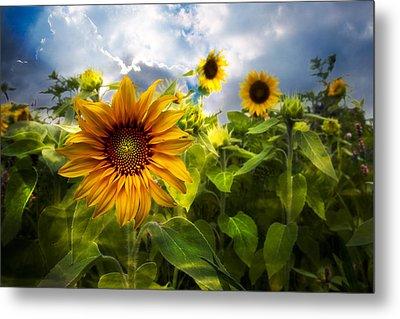 Sunflower Dream Metal Print by Debra and Dave Vanderlaan
