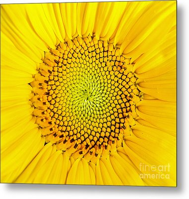 Sunflower  Metal Print by Edward Fielding