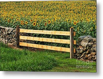 Sunflower Fence Metal Print