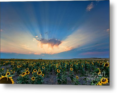 Sunflower Field At Sunset Metal Print by Jim Garrison