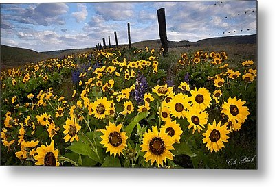 Sunflower Field Metal Print by Cole Black