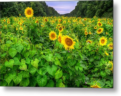 Sunflower Field In Oil Metal Print by Michael Donahue