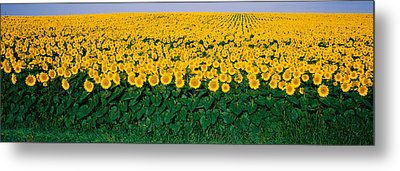 Sunflower Field, Maryland, Usa Metal Print by Panoramic Images
