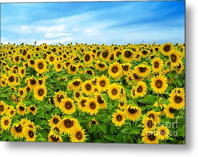 Sunflower Field Metal Print by Mike Ste Marie
