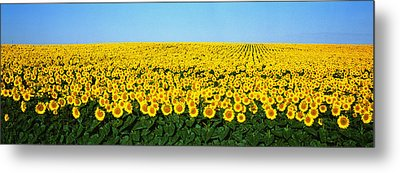 Sunflower Field, North Dakota, Usa Metal Print by Panoramic Images