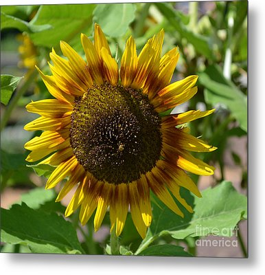 Sunflower Glory Metal Print by Luther Fine Art