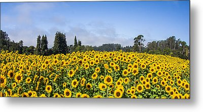 Sunflower Horizon Metal Print