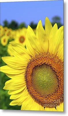 Sunflower In Field Metal Print by Elena Elisseeva