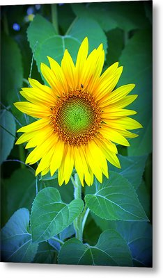 Sunflower In Green Metal Print