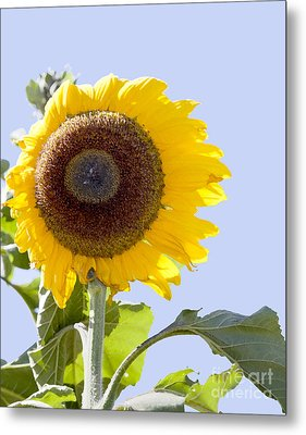 Metal Print featuring the photograph Sunflower In The Blue Sky by David Millenheft
