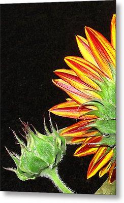 Sunflower In The Making Metal Print by Joyce Dickens