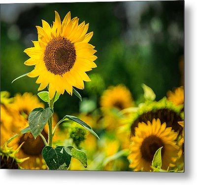 Sunflower Metal Print by Jon Woodhams