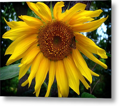Sunflower Metal Print by Kara  Stewart