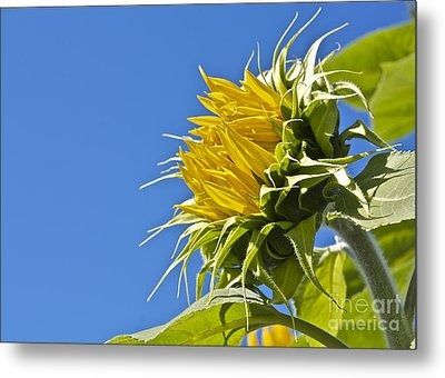 Metal Print featuring the photograph Sunflower by Linda Bianic