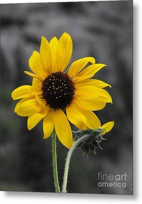 Sunflower On Gray Metal Print by Rebecca Margraf