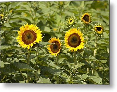 Sunflower Patch Metal Print by Bill Cannon