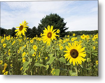 Sunflower Patch Metal Print by Ray Summers Photography