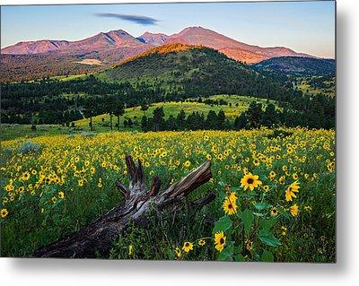 Sunflower Power Metal Print by Guy Schmickle