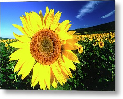 Sunflower, Provence, France Metal Print by Peter Adams