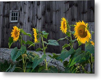 Sunflower Quartet Metal Print by Bill Wakeley